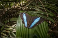 blue morpho butterfly and its iridescent wings inspiring scientists. Some of the many problems that have scientists turning to blue morphos include better technology to stop counterfeiting, high-performance electronic color displays for devices like e-readers and cell phones that use less energy, and creating brightly colored and iridescent textiles and cosmetics without using toxic heavy-metals or harmful manufacturing processes.