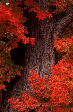 Sugar Maple in autumn, White Mountains, New Hampshire