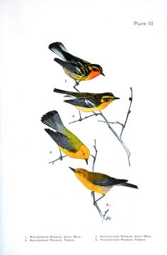 Animal - Bird - Wood warblers 2