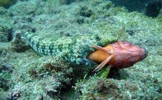 Peixe-lagarto comendo uma maria-da-toca na enseada do Anequim, em Arraial do Cabo, Rio de Janeiro