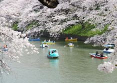 china travel guide Planning your dream vacation to Japan in spring for the cherry blossom festival? Here's all about when and where to see cherry blossoms in Japan in Here we d Cherry Blossom Party, Cherry Blossom Japan, Cherry Blossom Season, Cherry Blossoms, China Travel Guide, Japan Travel Guide, Japanese Cherry Tree, Sea Of Japan, Picnic Spot