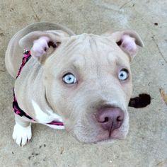 Pitbull puppy.