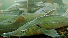 Die Störe gehören zu den Knochenfischen. Sie leben ausschließlich auf der Nordhalbkugel der Erde.