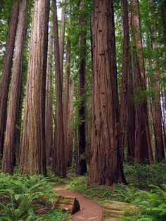 Western Red Cedar, my favorite of all the trees.