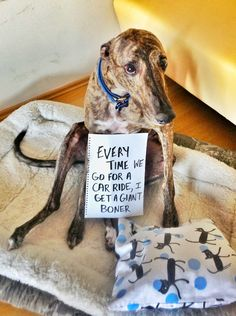 Pet shame! Greyhound dog animals funny cute humor trend picture