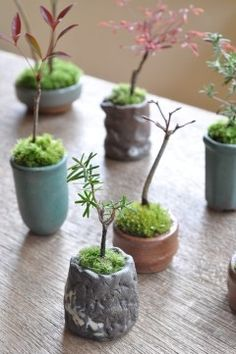 MINI bonsai trees! Great for your office :)