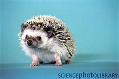 African Pygmy Hedgehog<3