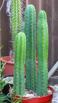 Trichocereus Pachanoi Column Cactus Plant - Cactus Limon. SynEchinopsis