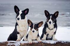 Corgi Dog Breed, Corgi Husky, Purebred Dogs, Cardigan Welsh Corgi Puppies, Pembroke Welsh Corgi Puppies, Alaskan Klee Kai, Bichon Frise, Shiba Inu, Corgi Facts