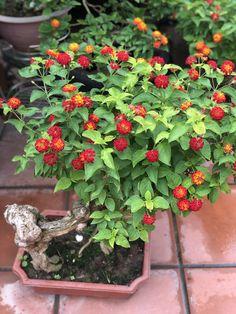 Bonsai Forest, Bonsai Art, Bonsai Plants, Bonsai Garden, Insect Repellent Plants, How To Grow Bonsai, Bonsai Tree Types, Lawns, Tree Art