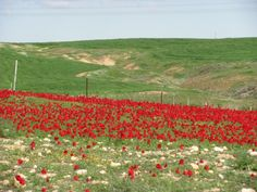 """It's called """"Darom Adom"""" (Red South) - During February, the south of Israel is blooming with anemones and poppies!"""
