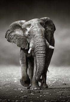 Elephant approach