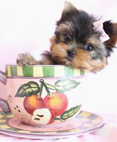 Gorgeous Yorkie puppy, in teacup size category.