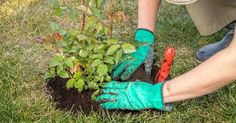 You can easily dig up a low shrub yourself, and if you get an earthen ball too big, attract an assistant to the transplant