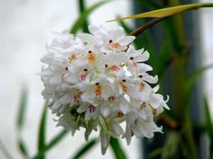 neobenthamia gracilis - Orchid Forum by The Orchid Source
