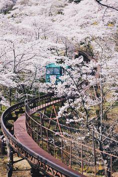 Cherry Blossom, Japan.