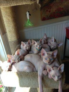 Sphynx kitties