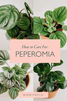 Planting Succulents, Garden Plants, Planting Flowers, Succulent Plants, Peperomia Plant, Plant Propagation, Calathea, Watermelon Plant, Outdoor Plants