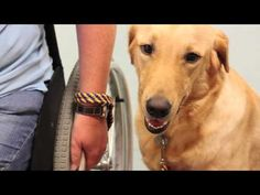 Look Into My Eyes -- Journey of a Canine Companions for Independence Assistance Dog
