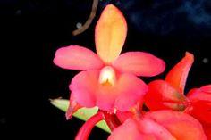 Epidendrum vegae Chocce & Hágsater en: Notas Plantarum: Variabilidad en las orquídeas