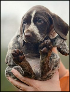 German Shorthair Pointer Pup | Content in a Cottage ...........click here to find out more http://googydog.com