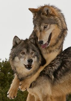 Wolves - Just Good Friends by Tom LittlejohnsAlpha male and female having a love-in high up in the mountains in Montana.