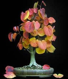 Bonsai Katsura molte colorate foglie odore di di CheapSeeds