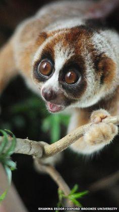 .La nueva especie de loris lentos, nombrados Nycticebus Kayan ,  no es reconocido hasta ahora, en parte debido a su estilo de vida nocturna.