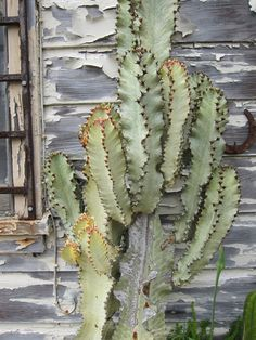 Euphorbia - Sth African parallel evolution with Cactus