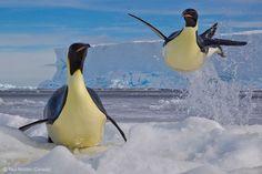 Frozen moment - Paul Nicklen - Wildlife Photographer of the Year 2012 : Behaviour: Birds - Winner