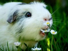 Is it just me or does it seem like this guinea pig has been hypnotised and is compelled to eat that daisy against his will? His eyes seem to cry out 'oh no, not again...'