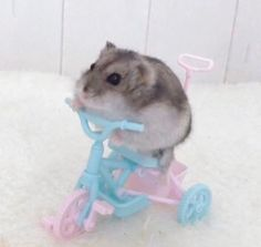 Baby Animals Pictures, Cute Animal Photos, Funny Animal Pictures, Cute Pictures, Cute Little Animals, Cute Funny Animals, Funny Hamsters, Cute Rats, Cat Aesthetic
