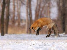 Retrato de uma raposa salto na paisagem de neve