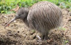 The kiwi is a unique and curious bird: it cannot fly, has loose, hair-like feathers, strong legs and no tail. Learn more about the kiwi, the national icon of New Zealand and unofficial national emblem. Animals And Pets, Cute Animals, Kiwi Bird, Reptiles, Ostriches, Flightless Bird, Bird Pictures, Kiwiana, Photos Of The Week