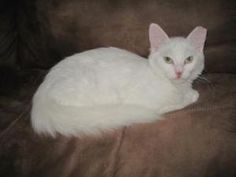 Snow White is an adoptable Domestic Medium Hair-White Cat in Rockledge, FL. Who is the fairest of them all? Well isn't it obvious me of course. A true princess I am a perfect companion. Fun loving and...