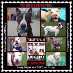 TO BE DESTROYED 08/01/17 - - Info   To rescue a Death Row Dog, Please read this:http://information.urgentpodr.org/adoption-info-and-list-of-rescues/  To view the full album, please click here:http://nycdogs.urgentpodr.org/tbd-dogs-page/ -  Click for info & Current Status: http://nycdogs.urgentpodr.org/to-be-destroyed-4915/