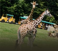 Safari Giraffe, Safari, Animals, Animales, Animaux, Giraffes, Animais, Animal