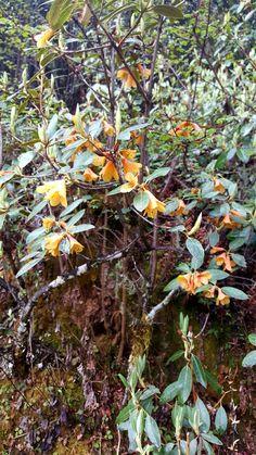 Rhododendron cinnabarium Bhutan, Plants, Plant, Planets