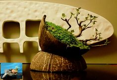 Mame Bonsai using coconut shell Crescent pot