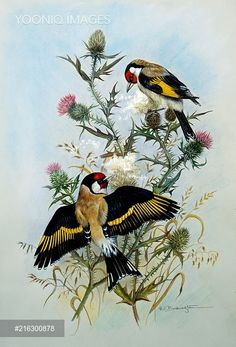 Pair of Goldfinches on Thistle
