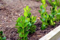 Try this in my raised bed- clippings of boxwood dipped in rooting hormone and tucked along the edge of the bed.
