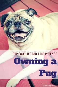 "A list of pros and cons of owning a pug, plus lots of cute pug pictures! I got my pug Jackson for my birthday last year. He is named after the character Jackson from the show ""Son's of Anarchy"". He will be turning 1 year old on September Cute Pug Pictures, Pug Photos, Rambo 3, Pugs And Kisses, Baby Pugs, Pug Puppies, Chihuahua Dogs, Pet Dogs, Cute Pugs"