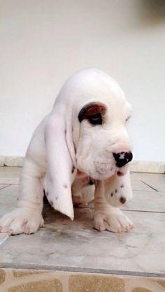 Hound Puppies, Hound Dog, Dogs And Puppies, I Love Dogs, Puppy Love, Cute Dogs, Baby Dogs, Doggies, Animals Beautiful