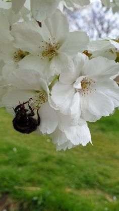 Bee In The Cherry Blossom Bee In The Cherry Blossom Indah Kusuma Cherry blossom This beautiful bee couldn t get enough of the cherry blossom nbsp hellip videos wallpaper Beautiful Flowers Wallpapers, Beautiful Photos Of Nature, Beautiful Rose Flowers, Amazing Flowers, White Flowers, Flowers Gif, Flowers Nature, Flowers Garden, Moon Garden
