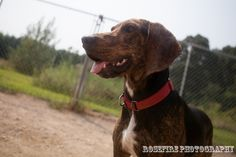 Rufus. One year old black and tan coonhound plott hound mix available for adoption. houndfriends.homestead.com