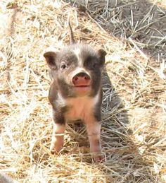 Mini Pigs-  i must have one.  theyre about 20 lbs, full grown.  Photos of Royal Dandies, the smallest miniature potbellied pigs (potbelly pigs).