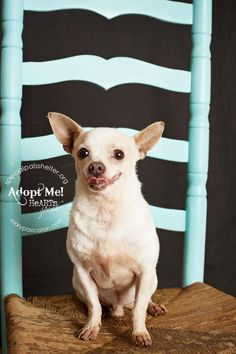 Pinky/Chihuahua • Adult • Male • Small Special Pals Animal Shelter Houston, TX My name is Pinky  It takes me a little while to come out of my shell but once I do I promise I am the sweetest dog you'll ever know. I was abandoned here so falling for a new family is a little hard but I am willing to try!