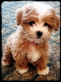 ♥Maltipoo Maltese/Poodle♥ I need this baby pup <3