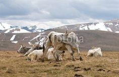 Vacche al pascolo - Grazing cows © Pietro D'Antonio
