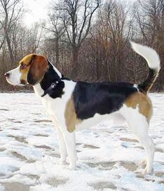 The Beagle Harrier appears to be either a larger Beagle or a smaller Harrier. Armadura Cosplay, Medium Dogs, Hound Dog, Beagles, All Dogs, Pugs, Dog Breeds, Dinners, Puppies